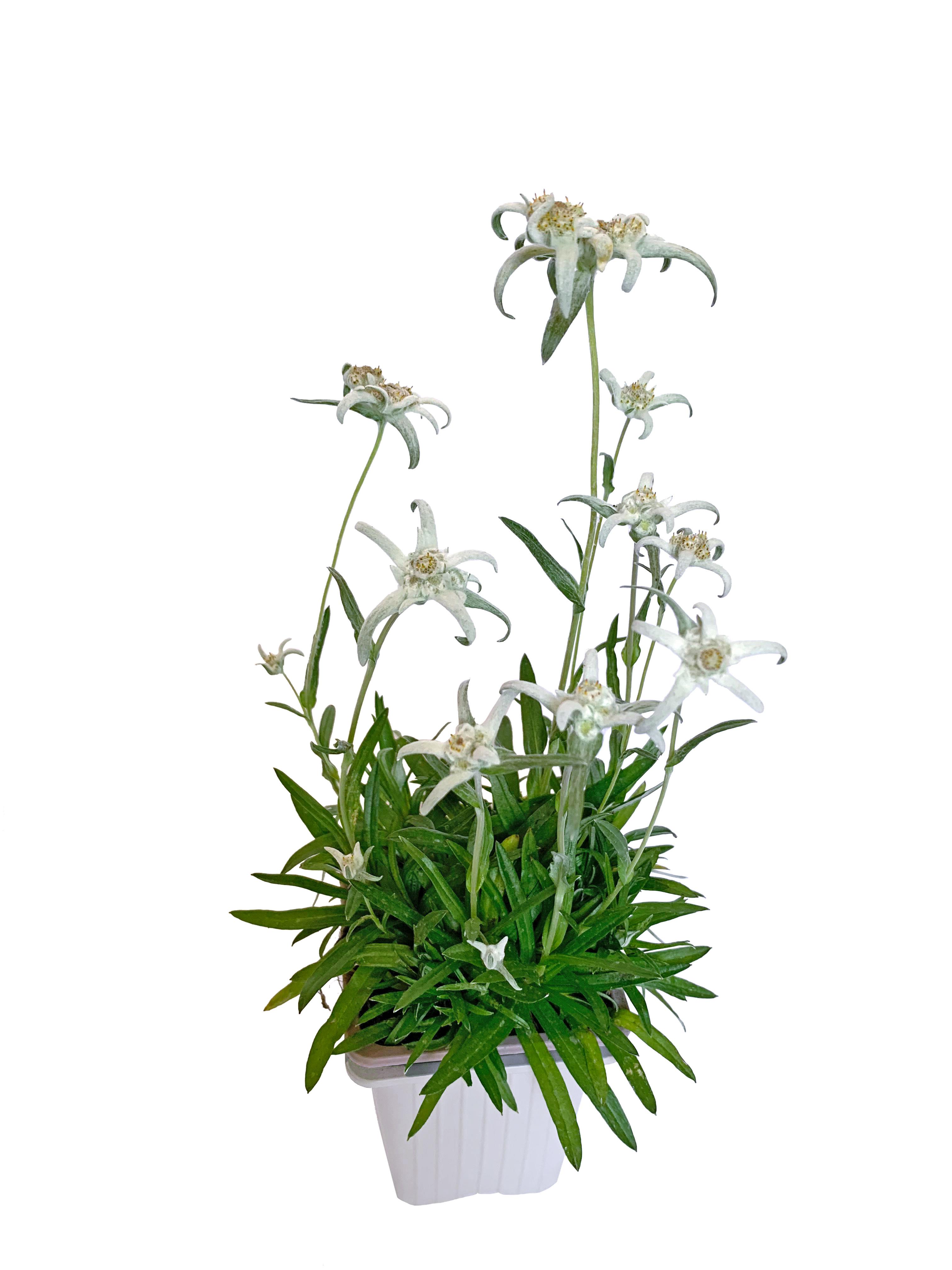 Edelweiß 'Höfats' (Leontopodium alpinum)