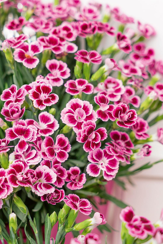 Mininelke 'Pink Kisses' (Dianthus cultivaris)